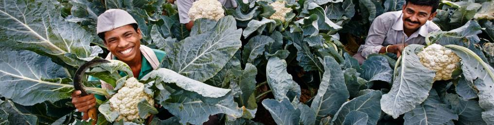 Field Of Cauliflowers